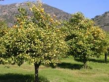 dojrzewające mandarynki